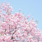 「八重桜」の時期、期間は?国内名所の開花時期も紹介!
