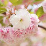 「八重桜」の有名種類、特徴まとめ!